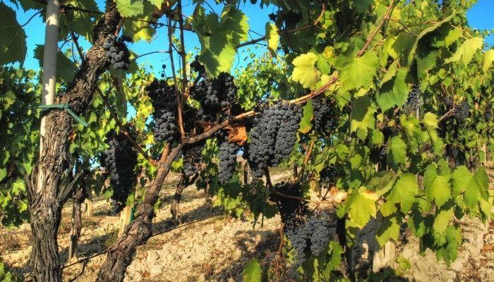 cinsault-grapes