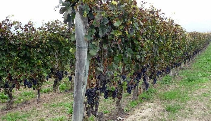 dolcetto-grapes