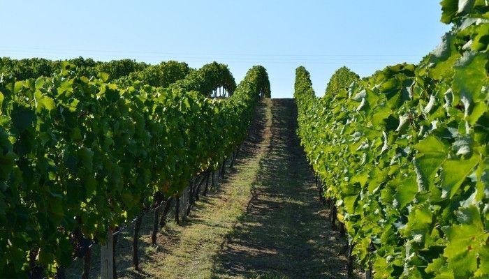 greek-vineyard