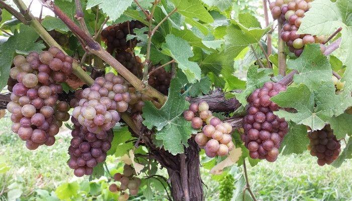 pinot-bianco-grapes